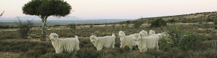 sarah-baartman-angora-goats